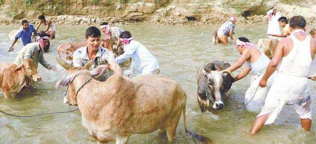 bihu-assam-cow-bath-goru-bihu