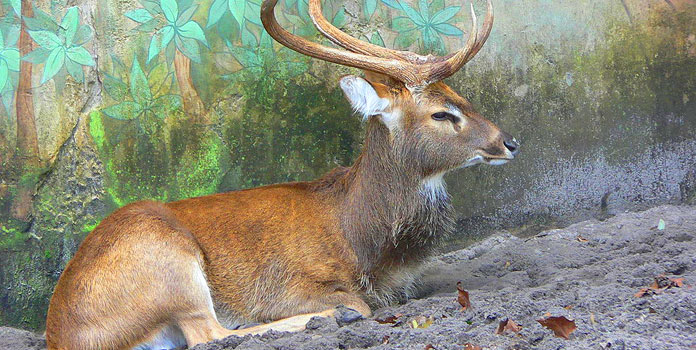 Sangai is the state animal of Manipur. Its hooves are adapted to walk on the Phumdis.